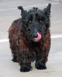 śliczny psi owłosiony Zdjęcia Royalty Free