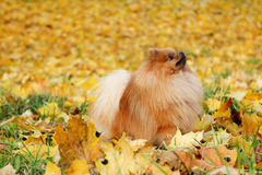 śliczny psi pomeranian Pies w jesień parku Pomorzanka w jesień żółtych liściach psi poważnie Zdjęcie Stock