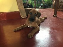 Śliczny psi szczeniak na czerwonej podłoga zdjęcie royalty free
