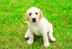 Śliczny psi szczeniaka Labrador Retriever obsiadanie zdjęcie stock