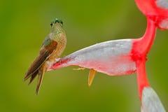 Śliczny ptasi obsiadanie na pięknym czerwonym Heliconia kwiacie, tropikalny las, zwierzę w natury siedlisku Przyrody scena od nat Zdjęcie Royalty Free