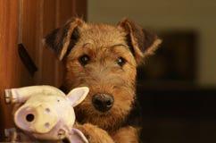 Śliczny puszysty Airedale Terrier szczeniak z brudnym nosem od błota fotografia stock