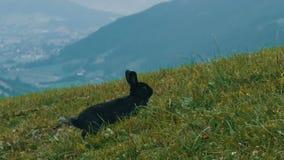 Śliczny puszysty czarny królik żuć trawy na tle malownicza Austriacka dolina zbiory