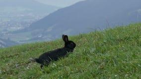 Śliczny puszysty czarny królik żuć trawy na tle malownicza Austriacka dolina zbiory wideo