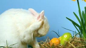 Śliczny puszysty królik drapa swój nos z małymi Easter jajkami przed on zdjęcie wideo