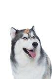 Śliczny Puszysty Syberyjskiego husky pies z psią fundą Obraz Royalty Free
