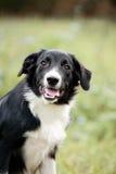 Śliczny rabatowego collie szczeniaka portret Zdjęcia Royalty Free