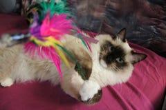 Śliczny Ragdoll kot bawić się z piórkiem Obraz Royalty Free