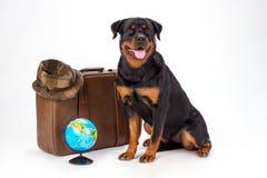 Śliczny rottweiler pies z podróży valise Zdjęcie Royalty Free