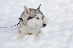 Śliczny siberian husky kłama na białym śniegu Zwierząt domowych zwierzęta zdjęcie stock