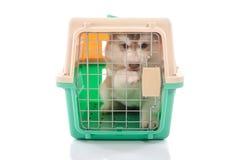 Śliczny siberian husky szczeniak w podróży pudełku Obrazy Royalty Free