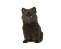 Śliczny siedzący czarny pomeranian szczeniaka pies odizolowywający na białym plecy Zdjęcia Royalty Free