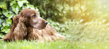 Śliczny stary psi sztandar zdjęcie stock