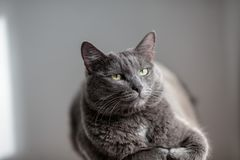 Śliczny szary kot kłama w słońca ` s promieniach i patrzeje poważnie w Fotografia Royalty Free