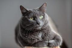 Śliczny szary kot kłama w słońca ` s promieniach i patrzeje poważnie w Zdjęcie Royalty Free