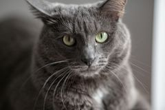 Śliczny szary kot kłama w słońca ` s promieniach i patrzeje poważnie w Zdjęcia Stock