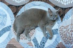 Śliczny szary kota lying on the beach w łóżku, puszysty zwierzę domowe swobodnie siedział puszek spać obraz royalty free
