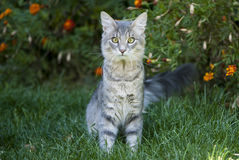 Śliczny szary kota obsiadanie na trawie Obraz Stock