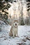 Śliczny, szczęśliwy i bezpłatny siberian husky psa obsiadanie w zima lesie, obraz royalty free