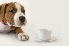 Śliczny szczeniak Amerykański Staffordshire Terrier z filiżanką kawy/herbata odizolowywająca na białym tle Fotografia Royalty Free