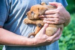 Śliczny szczeniak na jego ręki Fotografia Stock