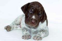 Śliczny szczeniak, niemiecki shorthaired pointer, odizolowywający na białym tle Fotografia Stock