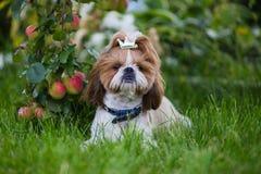 Śliczny szczeniak srał zu jabłko na tle jabłka w ogródzie fotografia stock