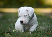 Śliczny szczeniaka Dogo Argentino obsiadanie w trawie zdjęcia stock
