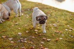 Śliczny szczeniaka pies, mops chodzi zdala od swój rodziców, patrzeje do kamery z smutną twarzą na zielonej trawie i jesień liści zdjęcie stock