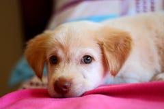 Śliczny szczeniaka pies odpoczywa na łóżku Zdjęcia Stock