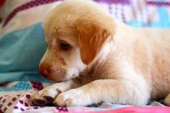 Śliczny szczeniaka pies odpoczywa na łóżku Fotografia Royalty Free