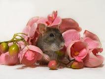 Śliczny szczur w menchiach kwitnie na białym tle zdjęcie royalty free