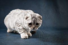 Śliczny Szkocki fałdu kot zostaje cztery nogi, osrebrza łaciastego Fotografia Stock