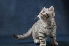 Śliczny Szkocki Prosty kot zostaje cztery nogi na zmroku - błękitny tło Obraz Stock
