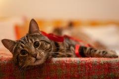 Śliczny tabby kot patrzeje w relaksować i kamerę zdjęcia stock