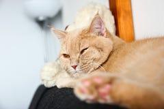 Śliczny tabby kot relaksuje na kanapie zdjęcie royalty free