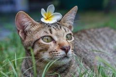 Śliczny tabby kot z Pluberia kwiatem na jego kierowniczym obsiadaniu w trawie zdjęcia royalty free