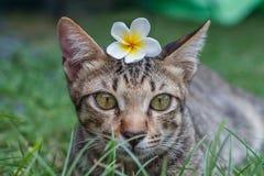 Śliczny tabby kot z Pluberia kwiatem na jego kierowniczym obsiadaniu w trawie zdjęcie stock