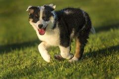 Śliczny Teksas Heeler szczeniaka bieg w parku przy Złotą godziną Obrazy Royalty Free