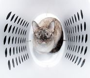 Śliczny tortie punktu Syjamskiego kota obsiadanie w pralnianej koszałce zdjęcie stock