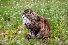 Śliczny tortoiseshell kot z białą piersią na zielonej trawie z białymi kwiatami obraz royalty free