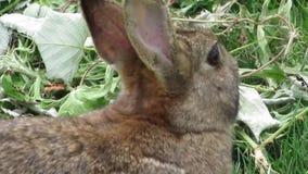 Śliczny uroczy brązu królika królik przy Jerychońską plażą, Vancouver, Kwiecień 2018 zdjęcie wideo