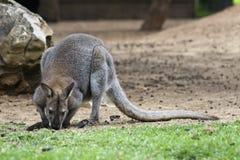 śliczny wallaby zdjęcia stock