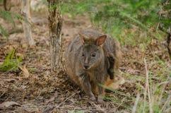 Śliczny Wallaby w Stanley, Tasmania obraz stock