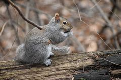 Śliczny wiewiórczy obsiadanie na gałąź w Cuyahoga parku narodowym w Ohio, usa zdjęcie stock