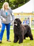 Śliczny wodołazu psa oślinianie Zdjęcia Royalty Free