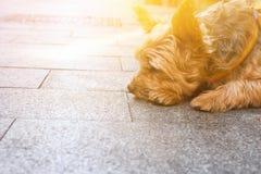 Śliczny Yorkshire pies na smycza lying on the beach na bruku w miasta czekaniu dla właściciela smutna wyrażeniowa twarz Przyjaźni zdjęcie stock