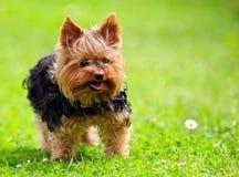 Śliczny Yorkshire Terrier pies Bawić się w jardzie fotografia royalty free