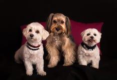 Śliczny Zachodniego średniogórza Białego Terrier obsiadanie na czerni obrazy royalty free