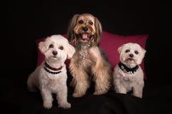Śliczny Zachodniego średniogórza Białego Terrier obsiadanie na czerni obraz royalty free